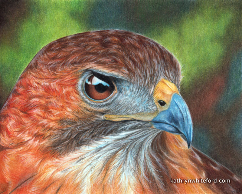Colour pencil artwork. Finished Red Tailed Hawk in colour pencil.