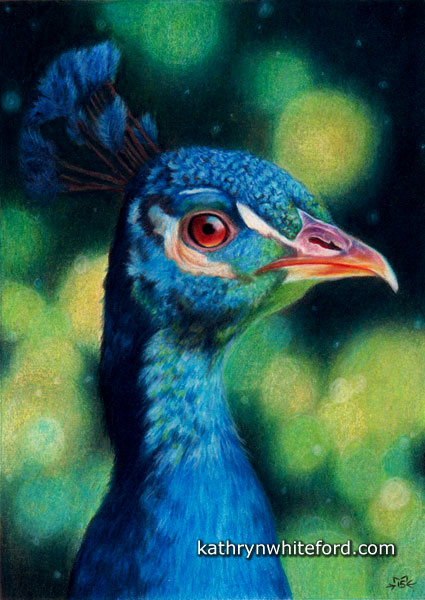 Peacock in Colour Pencil